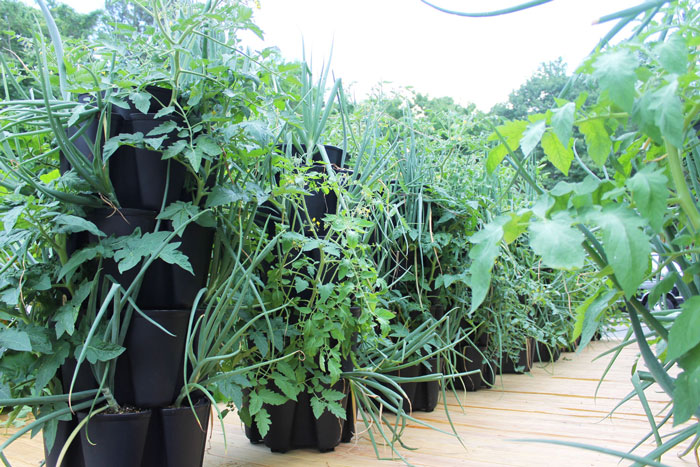 How To Grow Tomatoes In Your Greenstalk | Greenstalk