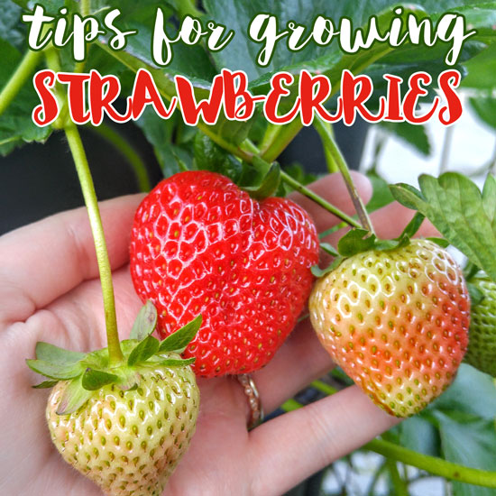 Strawberry In Container Growing: Tips For Growing Strawberries