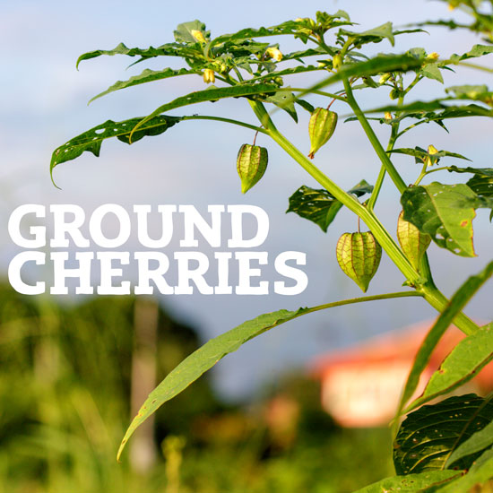 Favorite Plant Spotlight: Ground Cherries