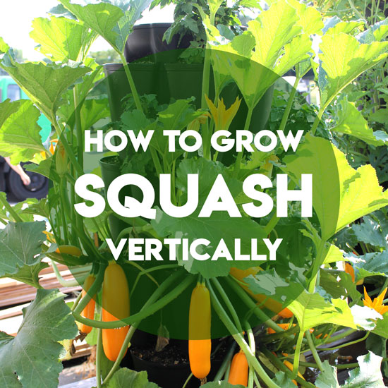 How To Grow Squash And Zucchini Vertically Greenstalk